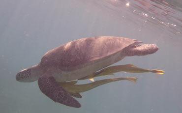 Schildkröte Abu-Dabbab