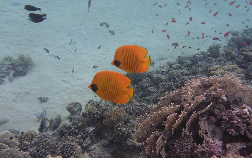 Korallen mit Fischen Abu Dabbab