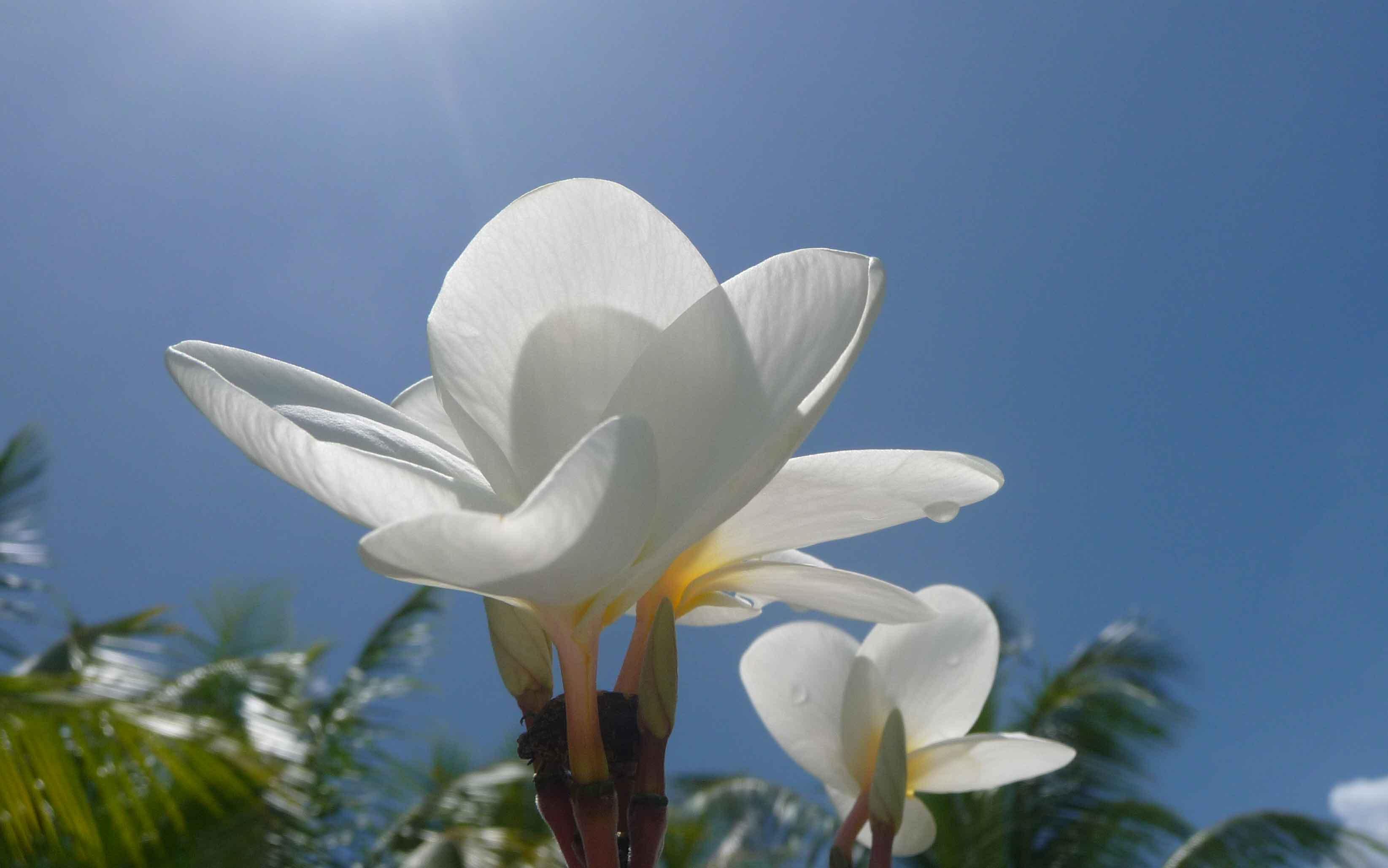 Monoi Blume