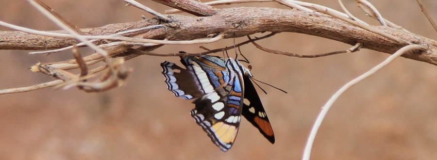 Schmetterling Havasu Falls
