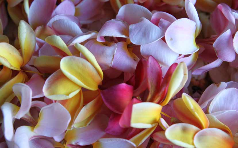 Tiare Blume auf Französisch Polynesien