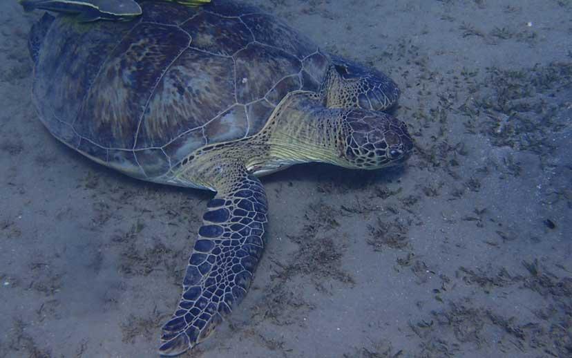 Wasserschildkröte Abu-Dabbab