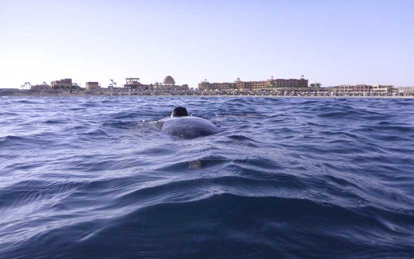 Wasserschildkröte an der Wasseroberfläche